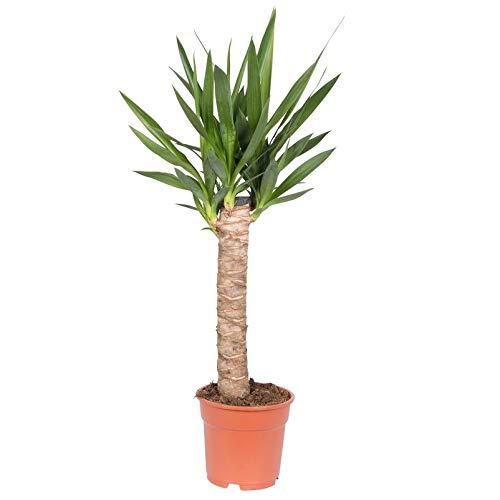Pflanzen Kölle Palmlilie mit Stamm, Yucca elephantipes, Gesamthöhe incl. Topf ca. 80 cm