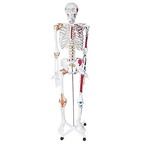 TKer 170CM menschliches anatomisches Modell - Medizinisches Modell Farbige Muskeln und Bänder Für die medizinische Aus- und Weiterbildung