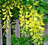 Golden Tree CHAIN 68 GRAINES HARDY BELLE Blooming croissance rapide petit arbre