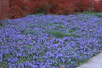 Classy Groundcovers, Vinca Minor 'Traditional' (50 Bare Root Plants)