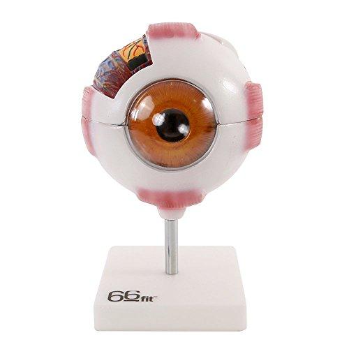 66Fit Modello Giant Occhio Umano–Bianco–Medical Training insegnamento Aiuto