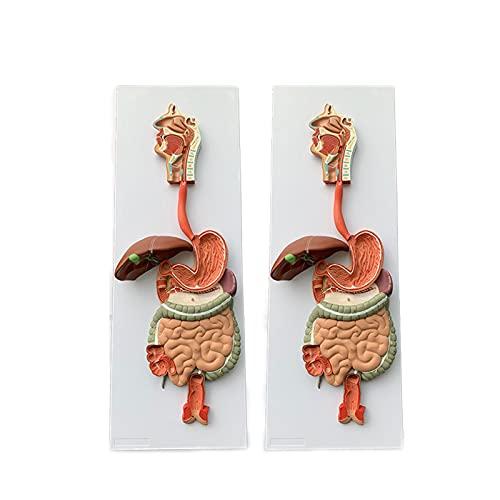 DADAKEWIN Human Digestive System Model Interne Organe Anatomisches Modell Herz Nase Hals Gastrointestinal Krankenhaus Schullehrhilfen (Color : Human Digestive System Model)