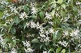 Trachelospermum jasminoides Evergreen Star Jasmine Climbing Plant 1 Litre Pot