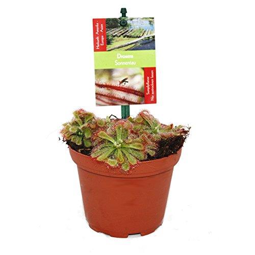 Exotenherz - Sonnentau - Drosera alicae - 9cm Topf