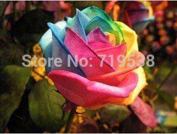 Belle graines de fleurs arc rose graines roses 100seeds / sac