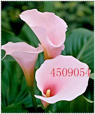 100 Pcs Calla-Lilien-Samen Importiert Aus Holland, Calla-Lilien-Keimlinge-Samen Blumen Hauptgardening Diy Garden Supplies: 13