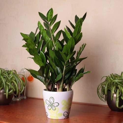 Zamioculcas zamiifolia - 1 pflanze