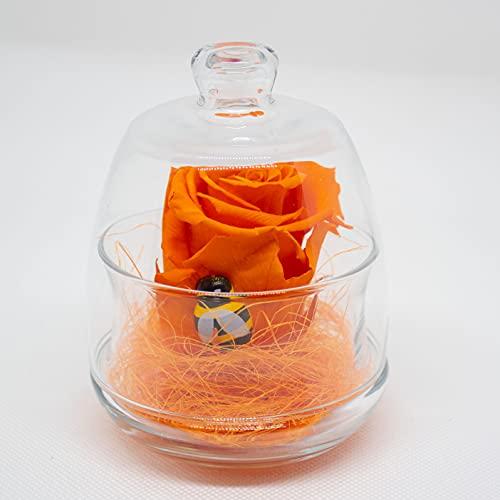 Rosa estabilizada naranja en campana de cristal. Rosa eterna naranja con abeja...
