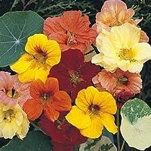 50 Mixed Colors DWARF JEWEL NASTURTIUM Tropaeolum Minus Flower Seeds