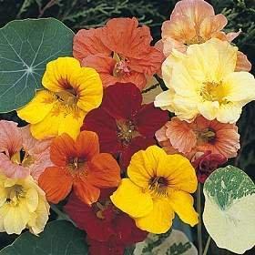 50 colori misti nano GIOIELLO NASTURZIO Tropaeolum Minus semi di fiore
