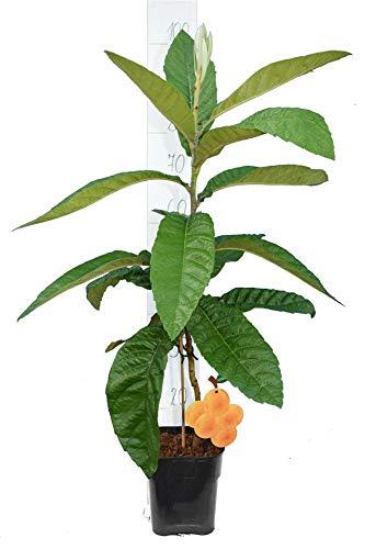 Mispelbaum - Eriobotrya Japonica - perfekt für Marmelade - Gesamthöhe 40+ cm - Topf 16x16 cm