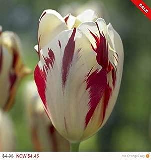 Raflesa Tulip Triumph Grand Perfection -Tulip Bulbs,TopSize/Flowers Midseason/Fall Planting/Now Shipping ! (5 Bulbs)