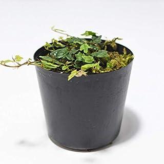 コケのインテリア コケリウム テラリウム 山野草 苔盆栽 苔玉 イモリウム ヒメイタビ