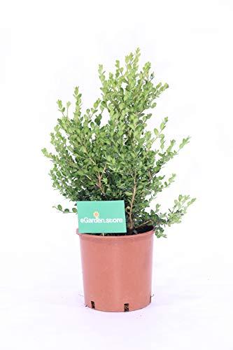 pianta vera da esterno di Bosso o Buxus Faulkner cespuglio v.24