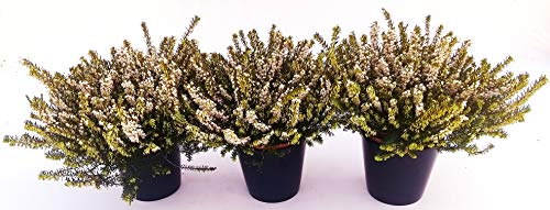 ERICA CARNEA DARLEYENSIS BIANCA 3 PIANTE, piante vere
