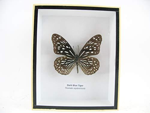 asiahouse24 Caja de Madera con auténticas Mariposas Gigantes y exóticas en 3D, Marco de Fotos de Madera – Enmarcado – Taxidermy, 3D Holzbox, Dark Blue Tiger