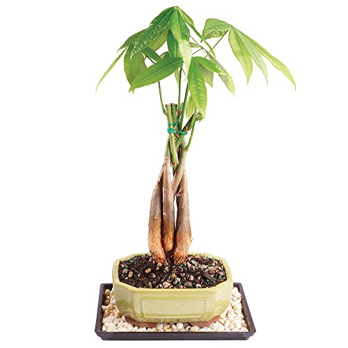 Brussel's Live Money Tree Indoor Bonsai - 4 Years Old; 10' to 15' Tall with Decorative Container, Humidity Tray & Deco Rock