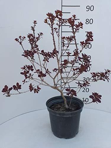 Späth Roter Perückenstrauch 'Royal Purple' LH 40-60 cm im 3 Liter Topf Zierstrauch winterhart Gartenpflanze schnellwachsend