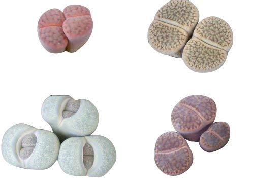 Lithops Samen Mix 50 Samen ***Lebende Steine*** Viele bunte Arten