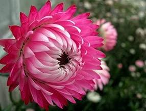 50 Pink Double STRAWFLOWER Helichrysum Bracteatum Flower Seeds S/H