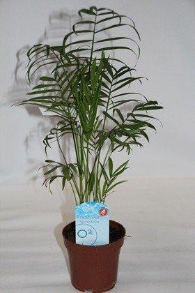 Chamadorea (Maceta 13 cm Ø) - Planta viva de interior