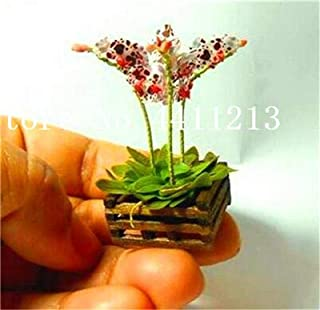 hot Sale 200 pcs Mixed Colors Orchid Seeds phalaenopsis Orchid Indoor Miniature Garden Seeds Pot Plant Indoor Decoration