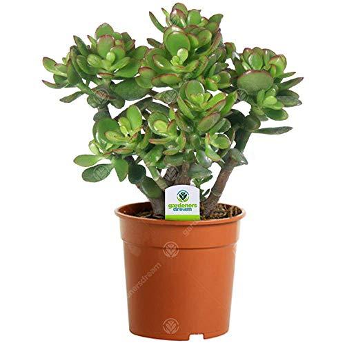 Crassula Ovata - 1 Plant - House/Office Live Indoor Pot Money Penny Tree in...