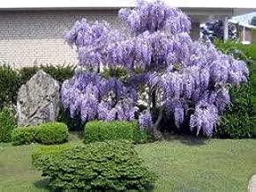 30pcs Purple Wisteria Flower Seeds Perennial Climb Plants Bonsai Home Garden TER