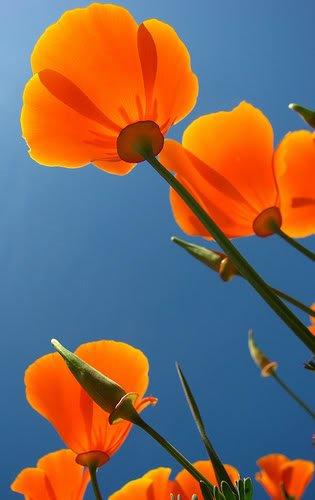 1000 ORANGE PAVOT DE CALIFORNIE Pavot de Californie Graines de fleurs