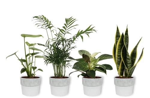 4er Set Zimmerpflanzen - Sansevieria, Philodendron, Monstera & Chamaedorea - Zimmerpflanze im weißen Betontopf - Höhe +/- 25cm inklusive Topf - 12cm Durchmesser (Topf) - 4 Stück
