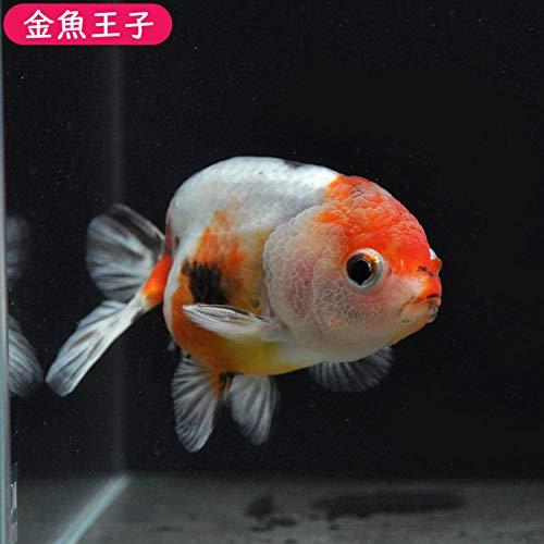 【金魚王子】江戸錦 (11センチ前後) 個体番号:vbn385 金魚 きんぎょ 生体 らんちゅう 厳選個体