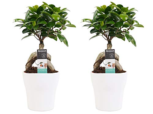 Zimmerpflanzen von Botanicly – 2 × Bonsai in weißem Übertopf als Set – Höhe: 30 cm – Ficus Gin Seng