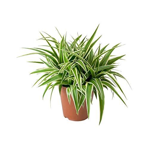 Chlorophytum Planta Natural de Interior 15-20cm Cinta, Lazo de Amor o Clorofito Planta Purificadora del Aire