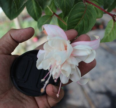 bateau libre Fuchsia graines lanterne fleurs balcon intérieur graines de bonsaï graines de fleurs, 40 graines