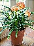 Vistaric Veri bulbi di clivia, piante di clivia, bulbi di fiori bonsai, (non semi di clivia), fiori perenni in vaso Radice bulbosa - 20 pezzi 6