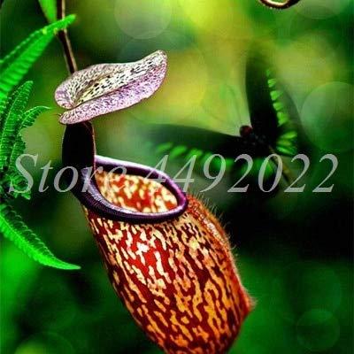AGROBITS 300 pièces rayées Nepenthes Bonsai Manger moustiques Plantes carnivores Pitcher Tropical Catch Jardin des insectes pour Flower Pot en pot: 14