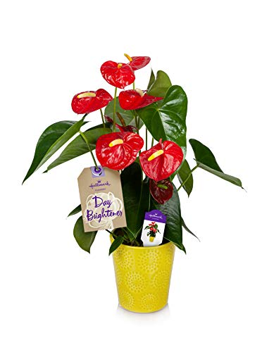 Happy Hearts Red Anthurium Plant 15-Inch To 18-Inch Tall In Yellow Ceramic Container, From Hallmark Flowers