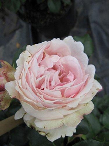 Kletterrose Giardina® - Rosa Giardina - rosa - Duft++++ - Nostalgierose - Tantau-Rose