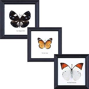 3 Assorted Butterflies | Verschiedene Schmetterlinge | Entomologie Taxidermie Innendekoration | 12 x 12 cm