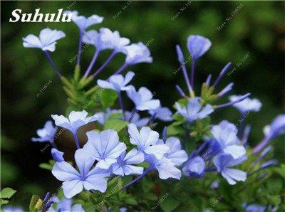 50 Pcs Arabis Alpina neige Graines de pointe extrême froid résistant jardin Bonsai Rare Belle plante et mur fleur Arabette 15