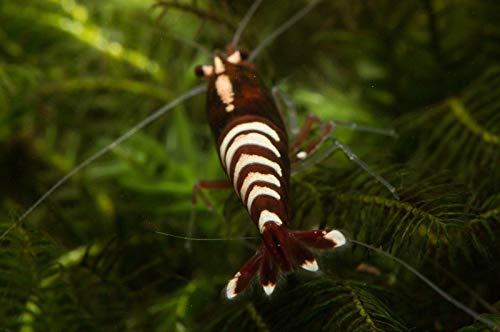 Garnelen Tom Pinto Skunk Fishbone/Backline - rot Zwerggarnele (Swinger-Pinto), 1 Stück
