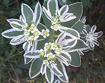 Potseed 50 Silber Weeping Birke Weiß Europäische Betula Pendula Alba Seeds * Comb S/H durch Seedville