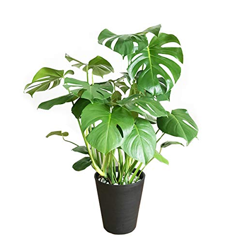 モンステラ 観葉植物 本物 インテリア 大型 大 ブラックセラアート鉢 8号