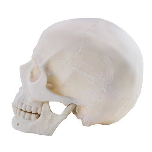 Life Size 1:1 Replica Realistic Human Skull Head Bone Model, Made with Resin