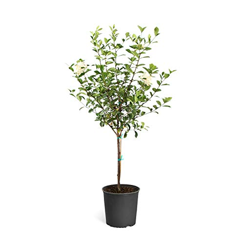 Brighter Blooms - Double Blooming Gardenia Tree, 3-4 Feet - No...