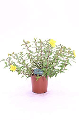 pianta di Iperico – Hypericum Hidcote pianta da esterno pianta ornamentale venduta da eGarden.store