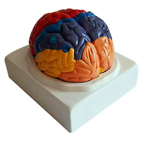XHLLX Human Brain Functional Areas Model Kits, Puzzle Assembly Anatomical Model Toy for Science Classroom Study Display Teaching
