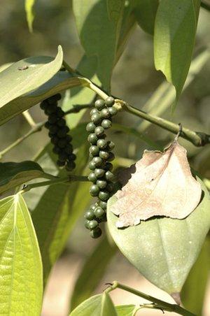Seedeo Echter Pfeffer (Piper nigrum) 20 Samen