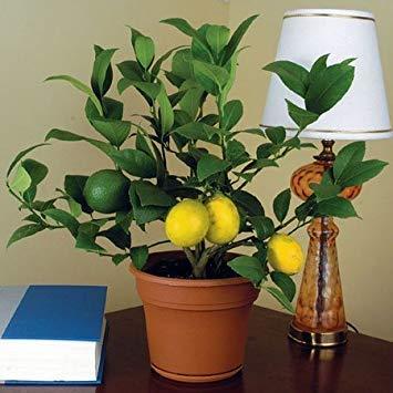 100 Seeds Dwarf Meyer Lemon Tree Indoor/Outdoor