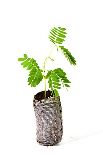 TreesAgain Lot of 3 Mimosa Tree - Albizia julibrissin - Starter Plugs (See State Restrictions)